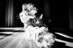 Time to Stretch (Nicholas Erwin) Tags: cat animal kitten luke feline meow pet sunlight shadows contrast blackandwhite monochrome acros mono bw fujifilmxt2 fujixt2 xf1024mmf4rois xf1024 fuji1024 stretching stretch inside hallway interior house home fav10 fav25 fav50