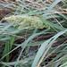 Eragrostis variabilis