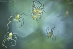 Newly hatched huntsman spiders (pbertner) Tags: rainforest rainforestexpeditions southamerica peru perunature madrededios amazon tambopata tambopataresearchcentre trc sparassidae huntsmanspider newlyhatched