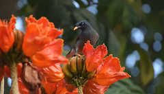 Starling ( Indian Jungle Mynah ) on African Tulip (Sriini) Tags: starling mynah jungle forest wild african tulp tulip flowers red bright animal water nectar juice bokeh coth sundaylights
