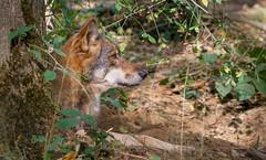 Wolf ... (Konrads Bilderwerkstatt) Tags: wolf raubtier wildhund wald natur fleischfresser kopf porträt umwelt guido konrad sony alpha foto bokeh bum strauch auge fang