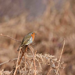Robin in Dalby forest (Barry Potter (EdenMedia)) Tags: barrypotter edenmedia nikon d7200 robin