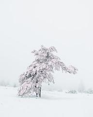 Pink Mammoth Tree (Pascal Riemann) Tags: baum schnee sauerland deutschland nebel pflanze natur hochheide germany nature snow plant