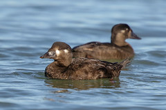 Surf Scoter (Alan Gutsell) Tags: surfscoter surf scoter beach seabird sea duck seaduck san francisco california wildlife photo nature alan birds birding