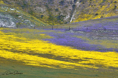 Hwy 58 Tremblors 03 (Dave Skinner Photography) Tags: shell creek carrizo plain wildflowers bloom flowers 2019 spring bald eagle