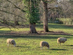 Wemmel, sheep #1 (foto_morgana) Tags: animals arbres aurorahdr2019 belgië belgique belgium bomen domesticsheep farmanimal iphonexsmax mouton on1photoraw2019 outdoor trees vlaamsbrabant wemmel livestock ovisaries ruminant mammals