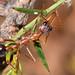 Bullant on Daviesia angulata