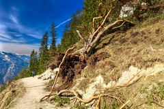 Uprooted tree on a hiking path in the Kaiser mountains near Kufstein, Tyrol, Austria (UweBKK (α 77 on )) Tags: österreich kufstein tyrol tirol austria europe europa iphone uprooted entwurzelt tree forest baum wald hike hiking path wanderweg wandern weg alps alpine alpen kaiser mountains kaisergebirge gebirge berg