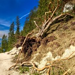 Uprooted tree on a hiking path in the Kaiser mountains near Kufstein, Tyrol, Austria thumbnail