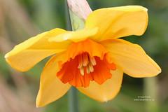 Narcissus 'Ambergate' (Owl Prints) Tags: mygarden narcissusambergate bulbs daffodils narcissus amaryllidaceae orangeflowers orange spring