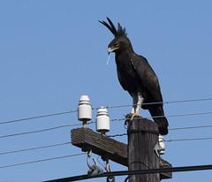Long-crested Eagle (Lophaetus occipitalis)-6418 (Dave Krueper) Tags: accipitridae accipitriformes africa aves bird birds eagle lcea landbird raptor southafrica