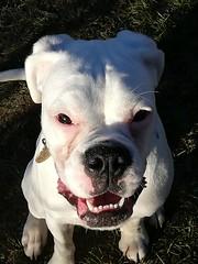 smile (Jackal1) Tags: smile boxer dog white teeth canine pet
