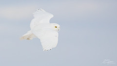 White Flight (LASCAR35) Tags: snowowl cyul bird birding harfang owl plane bestshotoftheday