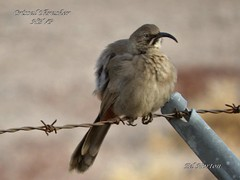 Crissal Thrasher (Edhorton) Tags: henderson bird viewing preserve las vegas nevada wildlife teal blue green winged crissal thrasher horned grebe great egret