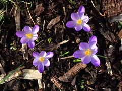 DSC00047 Crocus (PeaTJay) Tags: sonydschx90 zeiss england uk gb royalberkshire reading lowerearley berkshire macro micro closeups gardens outdoors nature flora fauna plants flowers crocus
