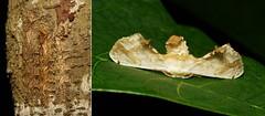 METAMORPHOSIS - Moore's Silk Moth (Ernolatia moorei, Bombycidae) (John Horstman (itchydogimages, SINOBUG)) Tags: insect macro china yunnan itchydogimages sinobug entomology collage metamorphosis moth lepidoptera caterpillar larva bombycidae silkmoth ernolatia moorei ernolatiamoorei fbipm tweet fbm