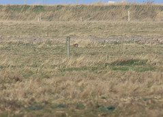 Hare at a dis (Norfolkbookworm) Tags: cleynextthesea morston birds marsh