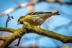 Siskin still for a moment (Rivertay07 - thanks for over 5 million views) Tags: greatawell siskin carduelisspinus rivertay richardstead copyrightprotected