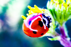 coccinelle 6 (joel.queyrel) Tags: ladybird coccinelle