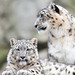 Snow Leopard Cub and Mom