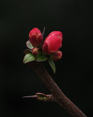 japanese quince (Elena Chausova) Tags: japanese quince цветок цветы флора природа весна растения flower flowers flora nature spring plants bud red light