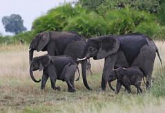 "African Elephant ""On the Move"" (girlslens) Tags: africanelephant elephant"