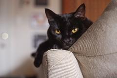 Amber Eyes (stacibug) Tags: sony a7 50mm konica cat blur bokeh eyes