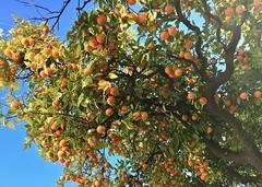 Een rijke oogst . (Franc Le Blanc .) Tags: marbella spain naranjas tree