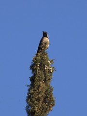 Cypress & Friend (zeevveez) Tags: זאבברקן zeevveez zeevbarkan canon crow cypress