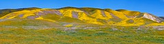 painted hills (Luc Mena Photography) Tags: bloom blooming blue california carrizoplain colorful colors flowers hills landscape nationalmonument nature outdoors purple scenic season sky spring wildflowers yellow losangeles ca usa