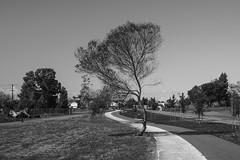 Jean Sweeney Open Space Park, Alameda, California, USA (takasphoto.com) Tags: acros bw blackwhite blackandwhite blancoynegro filmsimulation fuji fujifilm jpeg monochrome noiretblanc モノクロ モノクローム 単彩画 単色 白黒 apsc cmos4 fujixt3 fujifilmxt3 mirrorless xt3 xtrans フジフィルム alone lonely lone lonesome alameda california jeansweeneyopenspacepark usa alamedacity alamedacounty bay bayarea sea water eastbay northerncalifornia sanfranciscobayarea sfbayarea berkeley oakland westoakland tree