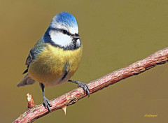Herrerillo común  (Cyanistes caeruleus) (11) (eb3alfmiguel) Tags: aves pájaros insectívoros passeriformes paridae herrerillo común cyanistes caeruleus