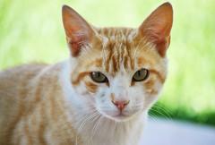 The little Gino (En memoria de Zarpazos, mi valiente y mimoso tigre) Tags: cat kitten orangeandwhitecat portraitcat greeneyes garden gato gatto micio chat gino nikon