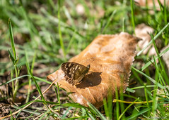 Butterfly on leaf (✦ Erdinc Ulas Photography ✦) Tags: butterfly nature leaf grass macro insect holland nederland netherlands canon panasonic wild green autumn canonef70200mmf4l