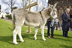 The Liturgy Of Palm Sunday, Lichfield 14/04/2019 (Gary S. Crutchley) Tags: lichfield cathedral palm sunday liturgy donkey service worship cross lent easter uk great britain england united kingdom staffordshire staffs west midlands westmidlands nikon d800 travel raw procession church of cofe anglican religion christianity faith gospel jesus christ crucifixion holy communion eucharist passion