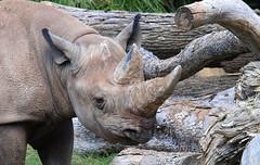 The Second Rhino (Kaptured by Kala) Tags: fortworthzoo mammal criticallyendangeredspecies criticallyendangered closeup zoo fortworthtexas rhino blackrhino horns dicerosbicornis lookingatme