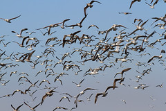 Gulls in flight (Wild Chroma) Tags: birds nonpasserines gulls inflight portugal ludo riaformosa faro