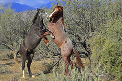 Just being boys (littlebiddle) Tags: horses mamal animal wildlife nature saltriver tontonationalnationalforest