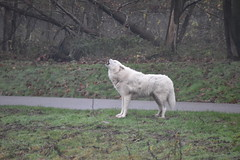 Aouuuuh : Arctic Wolf (Canis lupus Arctos) (Christophe Rose) Tags: zoo thoiry christophe rosé animal christopherose arctic wolf loup arctique mammal mammmifère canidé canidae hurlement howl yvelines îledefrance france nikon d5600 canis lupus arctos blanc white
