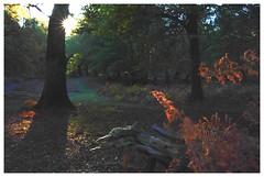 Autumn woods Nov18 090 (Alex McC1) Tags: nov18 autumn newforest backlit trees bracken