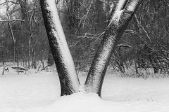 V (Mike Matney Photography) Tags: 2019 cahokiamounds canon eos6d illinois january midwest snow nature winter tree blackandwhite monochrome