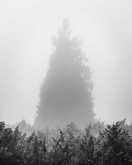 Trees in the Fog: The Giant (Pascal Riemann) Tags: hochheide deutschland baum pflanze sauerland nebel minimalistisch sw natur niedersfeld germany nature schwarzweis bw blackandwhite einfarbig minimalistic monochrome plant