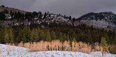 Aspen and Pine (arbyreed) Tags: arbyreed trees aspen pine storm darksky winter cold mountains uintahs summitcountyutah