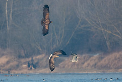 White-tailed eagles and the heron (JS_71) Tags: nature wildlife nikon photography outdoor bird new autumn see natur pose moment outside animal flickr colour poland sunshine beak feather nikkor d7500 wildbirds
