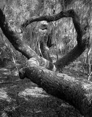 Amazing-Oak-Tree-BW-11x14-150345 (fredborg) Tags: florida newsmyrnabeach oaktree