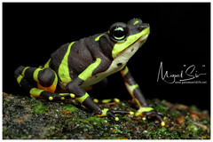 Limosa Harlequin Frog / Sapo Limoso (Panama Birds & Wildlife Photos) Tags: amphibian amphibians toad sapo panama panamawildlife wildlife wildlifephotography wild wildanimal animal nationalgeographic natgeo natgeowild nature naturaleza conservation conservación conservationphotography ngc