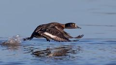 Tufted Duck Take Off (Glenn.B) Tags: gloucestershire nature slimbridge wwt wwtslimbridge duck waterfowl water wildfowl wildlife bird avian tuftedduck