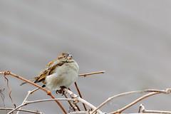 Le petit oiseau dans l'arrière-cour! (Lucien-Guy) Tags: oiseau bird hiver winter passerdomesticus moineaudomestique housesparrow