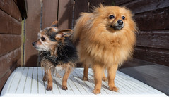 Beanz and Boo. . . (CWhatPhotos) Tags: cwhatphotos together two pair camera photographs photograph pics pictures pic picture image images foto fotos photography artistic that have which contain dog dogs canine pet small terrier yorky yorkshire miniture beanz named mini miniature cute cool pose portrait poser posing big ears boo pom pomeranian zwergspitz dwarfspitz dwarf spitz pompom olympus digital omd em10 mk ll ii panasonic 20mm prime f17 g20mm flickr doggy portraits whysoserious why serious littledoglaughedstories