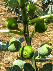 Alf 0001 - 0480 (Alf Ribeiro) Tags: agribusiness agriculture brazil rural agricultural america crop cut farm farmland field fig figs food fresh fruit green immaturity leaves nature outdoor plant production raw south tree